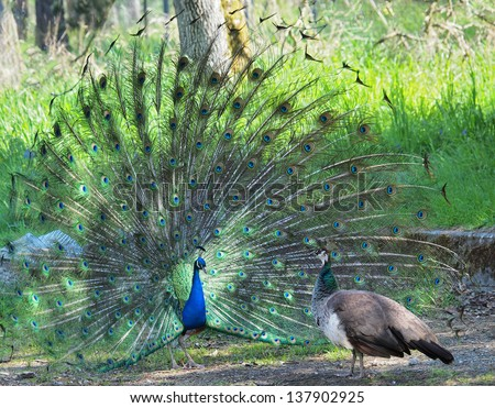 Peacock courting ritual, peahen looks at male
