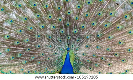 Peacock demonstrating it's beautiful feathers