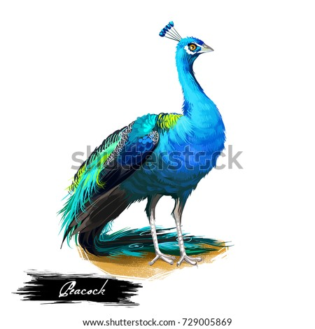 Peacock digital art illustration isolated on white. Peafowl pheasants with extravagant plumage, female peahen, immature offspring peachicks. Wildlife animal with luxury tail in green and blue colors