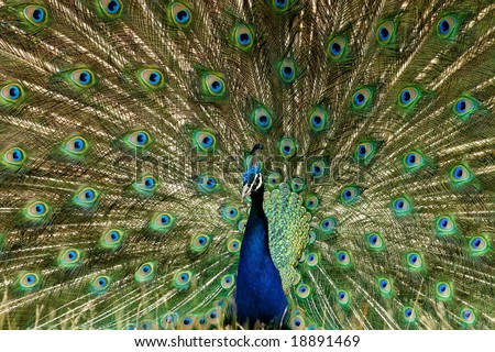 Peacock display with detail