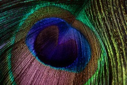 Peacock feather close-up, macro photography. Saturated iridescent hues, spectacular holiday background abstract image.