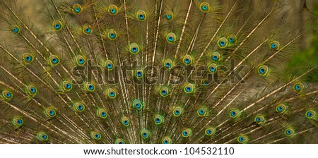 peacock feathers as abstract background