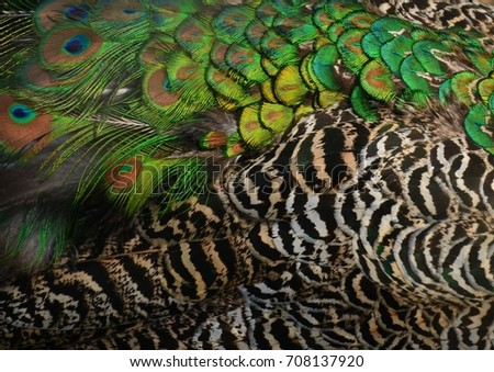 Peacock feathers background #708137920