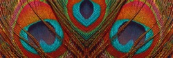 Peacock feathers close up. Peacock tail, banner. Peacock feather pattern, panoramic view. Abstract background with pattern.