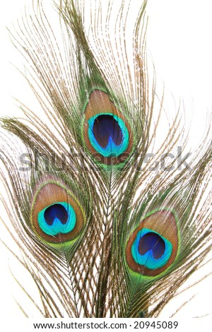 Peacock feathers closeup