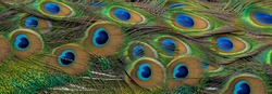 Peacock feathers in closeup ,The beauty of bird feathers for background