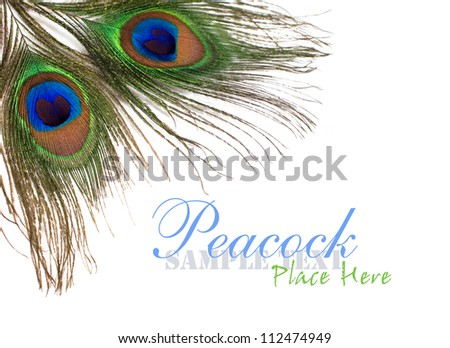 peacock feathers on a white background for design