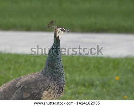 Peacock (female) (peafowl) (peahen) (pavo cristatus) #1414182935