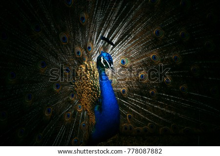 Peacock flaunting its tail #778087882