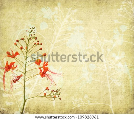 Peacock flowers on poinciana tree with Old antique vintage paper background