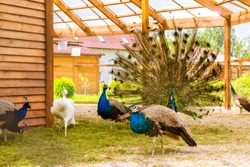 Peacock fluffed a huge bright tail in mating dance in front of females in a cage in poultry farm. Bird farm at St. Elizabeth women's monastery, Slavske district, Kaliningrad oblast, Russia