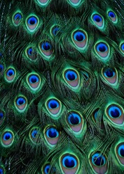 Peacock green and blue plumage in close up.