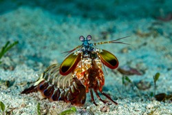 Peacock-, harlequin-, painted- or clown mantis shrimp, Odontodactylus scyllarus