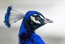 Peacock head portrait. Close-up