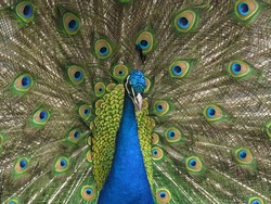 peacock in a farm school for kids