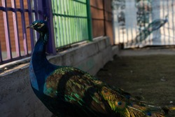 Peacock in a zoo cage
