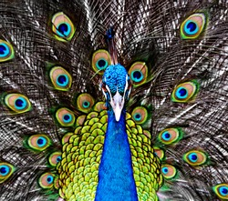 Peacock in the thailand zoo