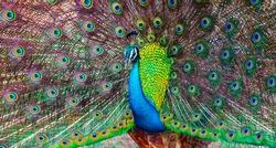 Peacock in the wild on the island of Sri Lanka