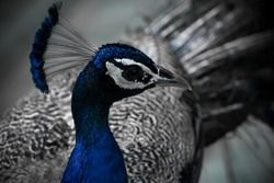 Peacock is national bird of india. it's most beautiful and colourful bird.