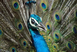 Peacock  Is Posing For Photo
