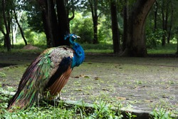 peacock loose in a zoo in Brazil