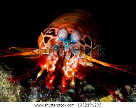 Peacock Mantis Shrimp #1032191293