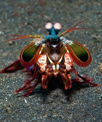 Peacock mantis shrimp in a pose of threat