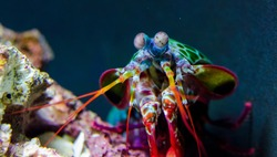 Peacock Mantis Shrimp investigating its tank