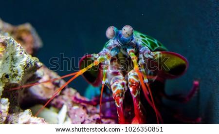 Peacock Mantis Shrimp investigating its tank #1026350851
