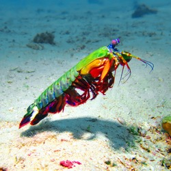 Peacock Mantis Shrimp is a large mantis shrimp native to the Indo-Pacific from Guam to East Africa.
