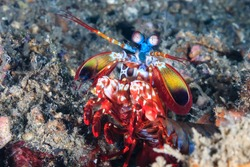 Peacock Mantis Shrimp on the seabed