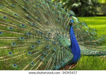 peacock opened tail