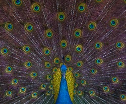 Peacock / Pavo cristatus (Galliformes) Male with a rainbow tail, the blue or Indian peafowl, family of Phasianidae