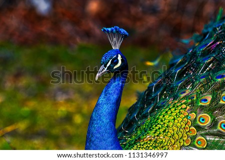 Peacock - peafowl with open tail, beautiful representative exemplar of male peacock in great metalic colors #1131346997