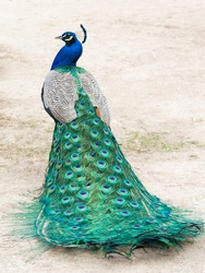 Peacock photographed from behind with colourful tail in foreground and head in profile in background.