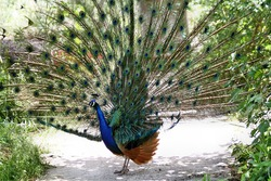 Peacock showing feathers (Pavo cristatus)