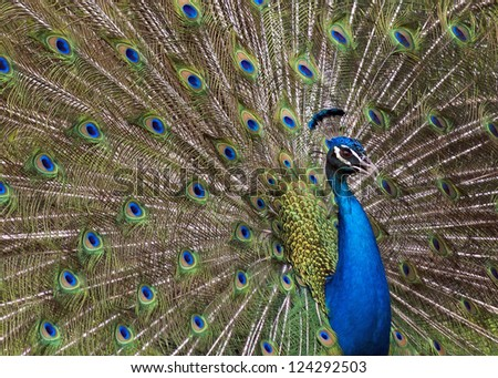 peacock showing his plumage