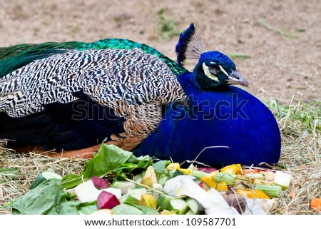 Peacock sitting on the grass with food