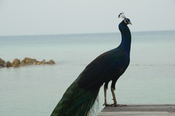 Peacock standing on a wooden bridge at the beach