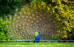 Peacock tail. Colorful feather background