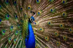 Peacock tail. Elegant colourful peacock portrait