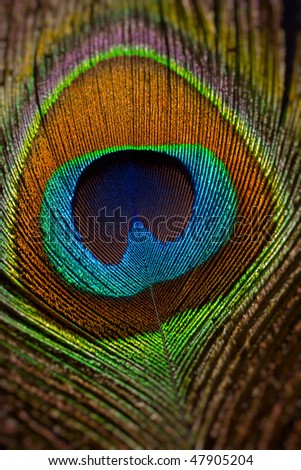peacock tail feather macro