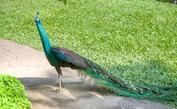 Peacock walking in the park outdoors, Bali, Indonesia