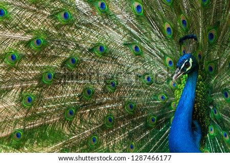 Peacock with feather detail. peacock wallpaper #1287466177