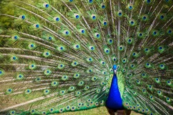 Peacock with majestic spreaded tail feathers filling the photograph