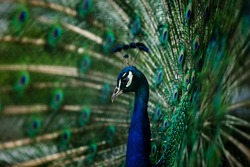 peacock with open tail in all its splendor