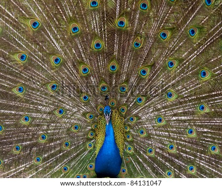 peacock with spread feathers