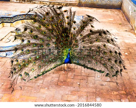 Peacocks and jungle fowl roam free in  the Jardim Marechal Carmona gardens  and public park in Cascais a seaside resort in Portugal Foto stock ©