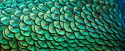Peacocks, colorful details and beautiful peacock feathers.