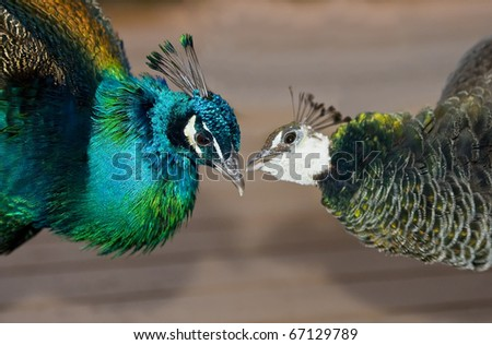 Peacocks in love